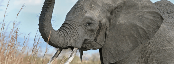 The Ivory Trade: Africa's Tragedy - Post banner