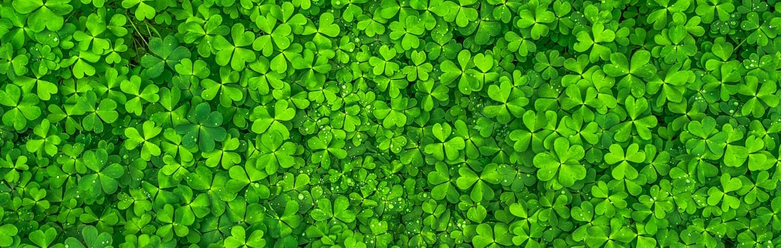 Field of lucky clovers