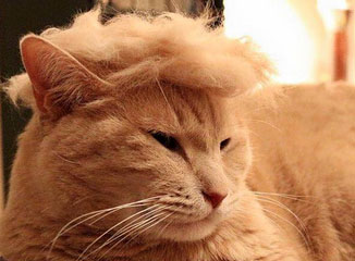 Donald Trump's signature hairstyle placed on cat.
