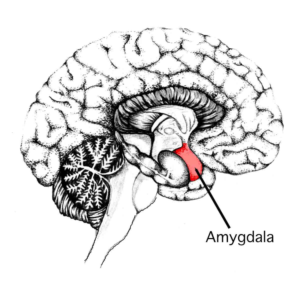 The amygdala, initiator of the fight-or-flight response in the human brain